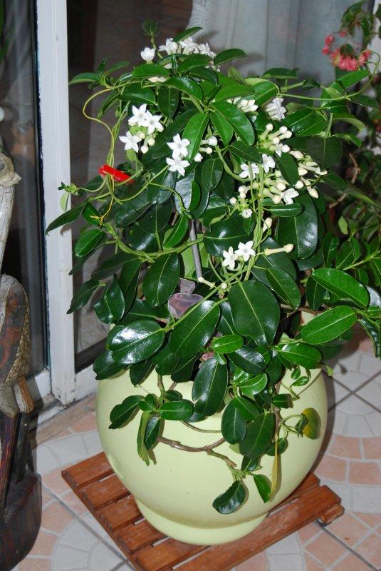 Plante grasse qui fleuri plusieurs mois et tres parfum for Plante 6 mois